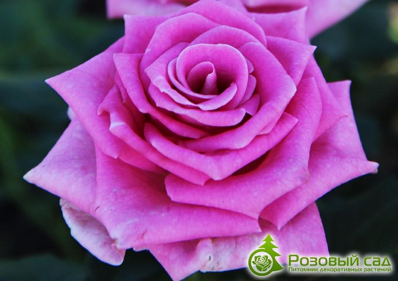 Галерея розы