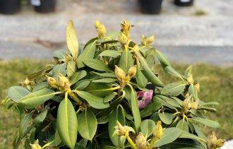 Особенности ухода за рододендроном якушиманским