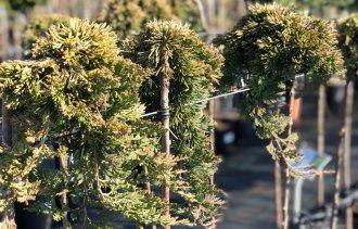 На что обращаем внимание при выборе штамбовых растений!