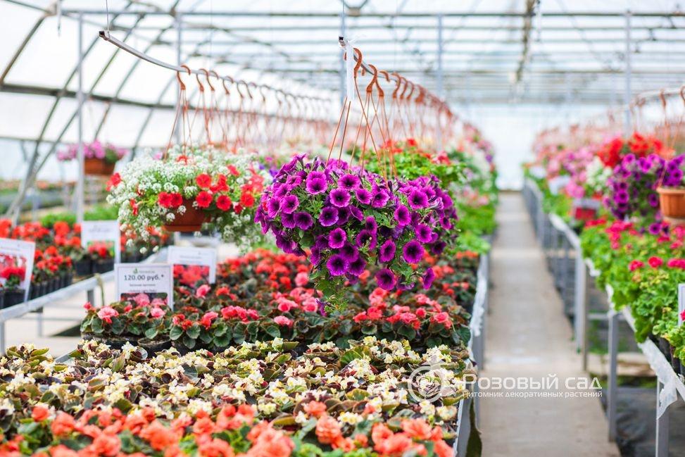 Саженцы цветов купить спб, букет красных роз