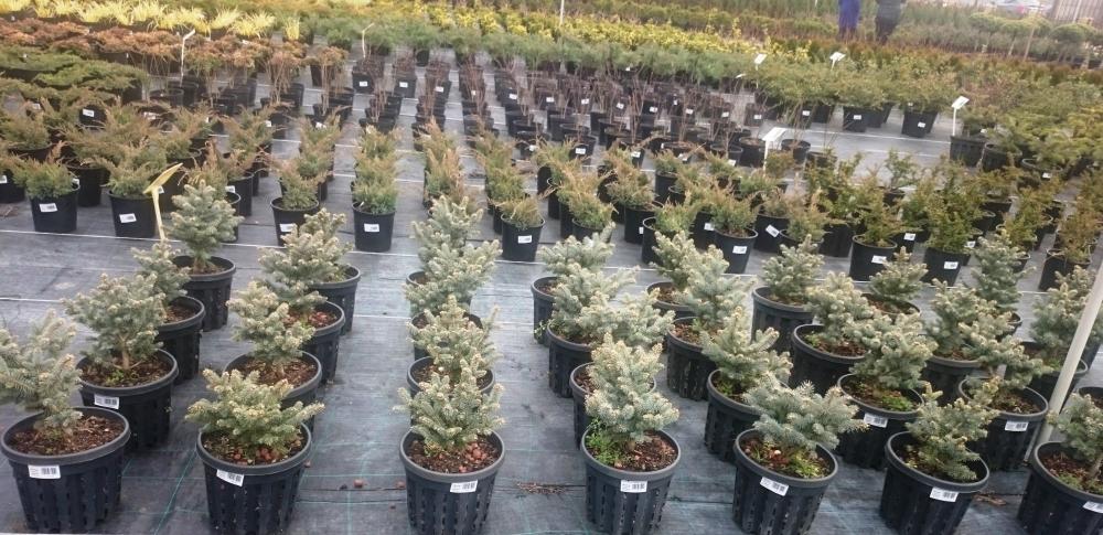 Каскад орхидей, купить саженцы цветов москва
