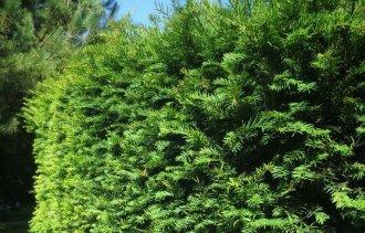 Тис ягодный - идеальное растение для живых изгородей