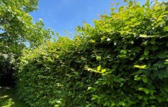 Скажем «ДА!» лиственным изгородям