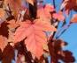 Клен фримана Отом Блейз - Acer x freemanii Autumn Blaze (осенняя окраска)